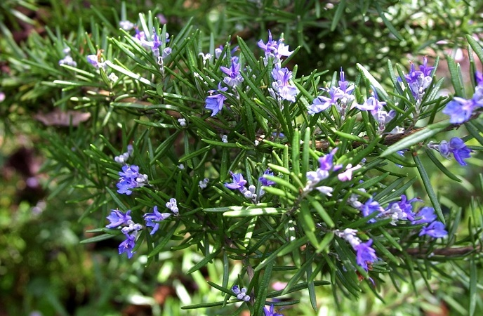 foods-good-for-skin-rosemary